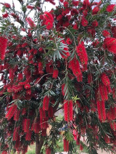 Bottle brush trees in Punakha Valley